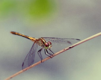 Dragonfly Photo, Insect Photography, Nature Fine Art, Cute Gift Ideas, Dragonfly Wall Art, Apartment Decor, Dreamy Wall Decor, Insect Print