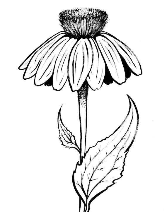 Echinacea Purpurea Flower Black and White Coloring Page Art Print on Matte Bristol Paper