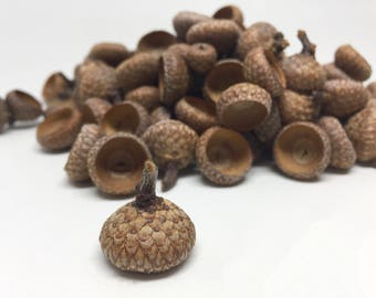 100 Acorn caps, craft acorn caps, real acorn caps