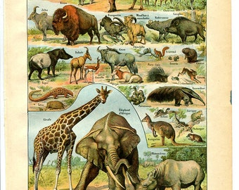 """SHIPPING FREE - Mammals  - Antique French Lithography 1898's  - Zoological Print   - 7.8"""" x 11.4"""" - A3"""