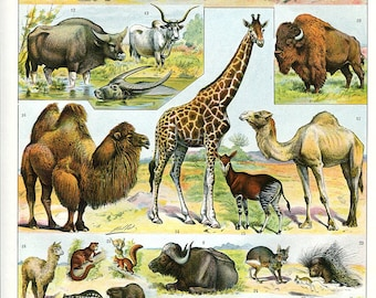 """Mammals - Antique French Lithography 1910's  -  Zoological Print -  12.1 """"x 9.2 inches - A3"""