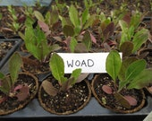 Dye plants - Woad plants, Madder plants, Weld plants, Safflower plants, Dyer's Chamomile plants