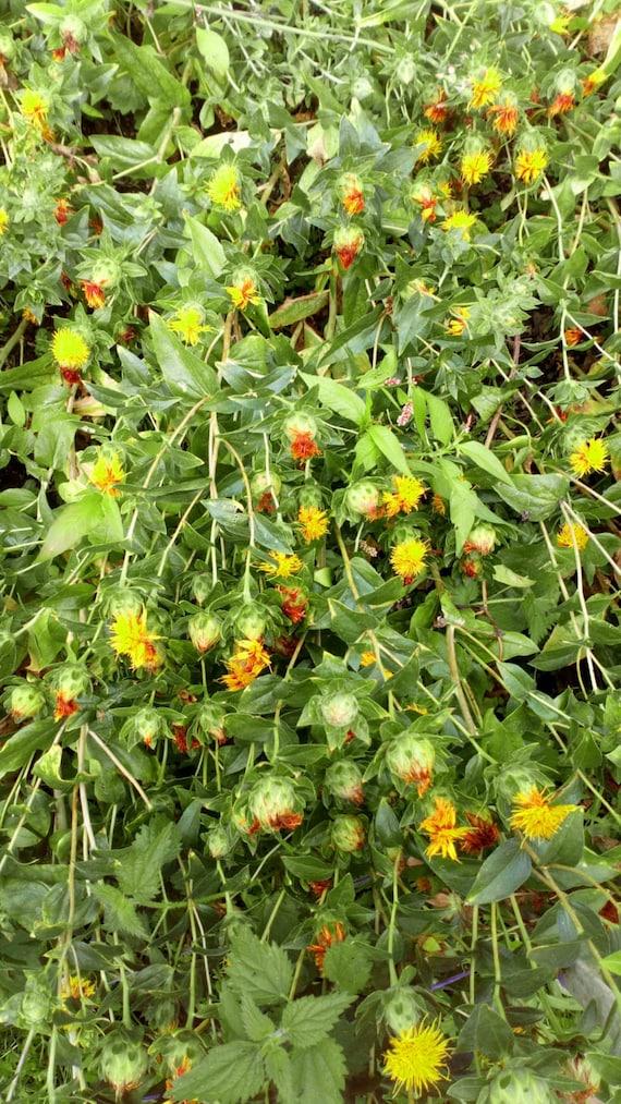 graines de Coreopsis tinctoria Fleurs 0,3 gramme