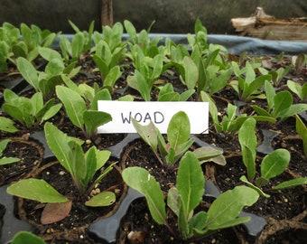 Dye plants - Woad plants, Madder plants, Weld plants, Safflower plants, Dyer's Chamomile plants