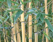 Giant Timber Bamboo Plant Cold Hardy to -15ºf Phyllostachys Aureosulcata 39 Lama Temple 39 .