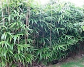 Bambusa metake Korean Japanese arrow bamboo plant grown in a number 1 size planter, hardy hedge screen to 0f .