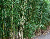 2 Fargesia Nitida 39 Blue Fountain 39 Hardy Clumping Live Bamboo Plants For Hedge Or Specimen