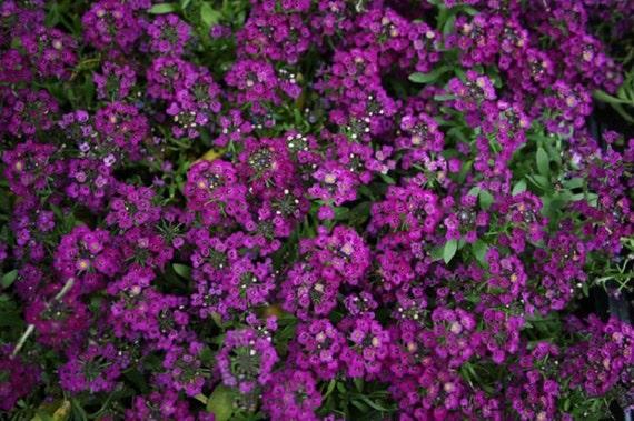 0.1g approx.200 sweet alyssum seeds CLEAR CRYSTAL PURPLE SHADES purple flowers