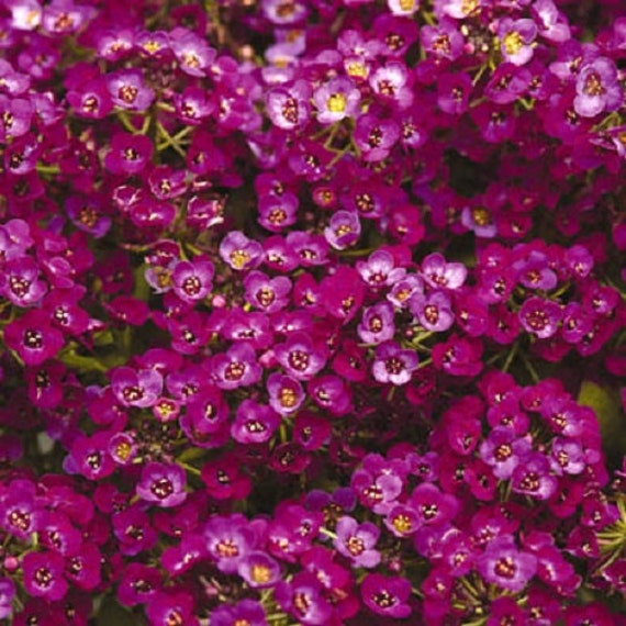 0.1g approx. 350 flower coleus seeds  Wizard Mix Bright the best for bedding