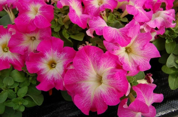20 Large Bloom Petunia Seeds Dreams Rose Morn Everblooming Etsy