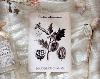 Datura. print of antique illustration from 17th century decoration botanical witchcraft vintage magic .