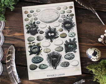 Eggs Collection . print of antique illustration from 19th century decoration vintage cabinet of curiosities .