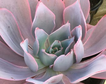 Succulent plant, Echeveria 'Afterglow' is believed to be a hybrid of Echeveria subrigida, which is a very farinose white rosette Echeveria,