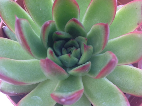 Succulent plant echeveria agavoides red tip lovely etsy image 0 mightylinksfo