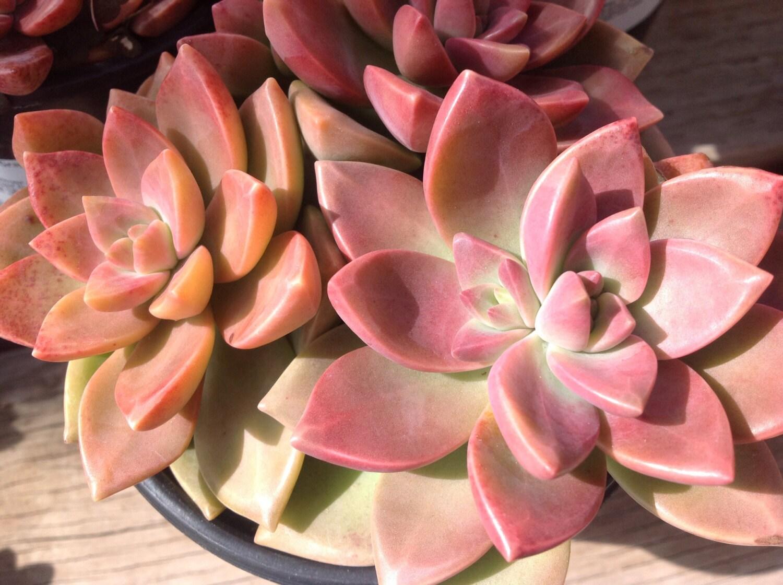 Succulent plant California Sunset. This succulent boasts | Etsy