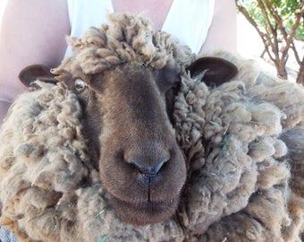 Raw Navajo-Churro Sheep Wool - Tan / Gray- 6 ounces of Raw Unprocessed Wool - FREE SHIPPING!