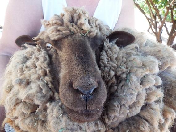 RAW Unprocessed Mixed SHEEP WOOL Brown Black Grey Assorted 8 oz bag