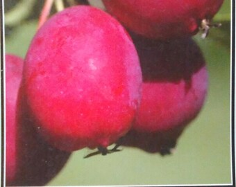 4/'-5/' ALLRED PLUM Fruit Tree Plant Healthy Trees Sweet Plums Home Garden Plants