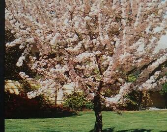 Southern Magnolia Tree 5 Gallon Flowering New Plants Plant Etsy