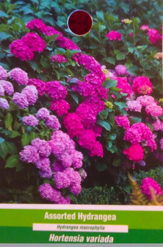 Assorted Hydrangea Pink Purple Red Blue Large Flower Plant Etsy