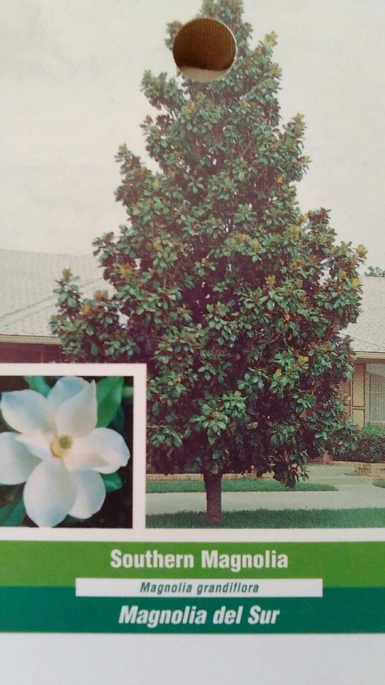 Southern Magnolia Tree 5 Gallon Flowering New Plants Plant Etsy