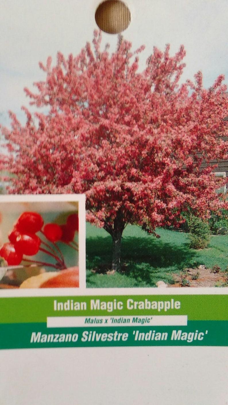 Indian Magic Flowering Crabapple 5 Gallon Tree Flower New Etsy
