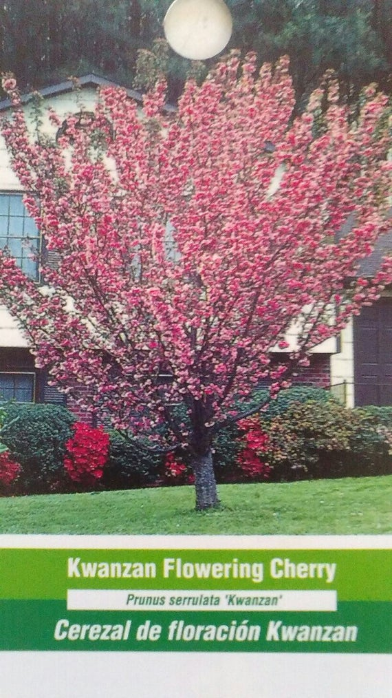 Kwanzan Flowering Cherry Tree 5 Gal Healthy Home Garden Plants Etsy