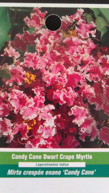 Candy Cane Dwarf Crape Myrtle 5 gal. Tree Flower New Plants | Etsy
