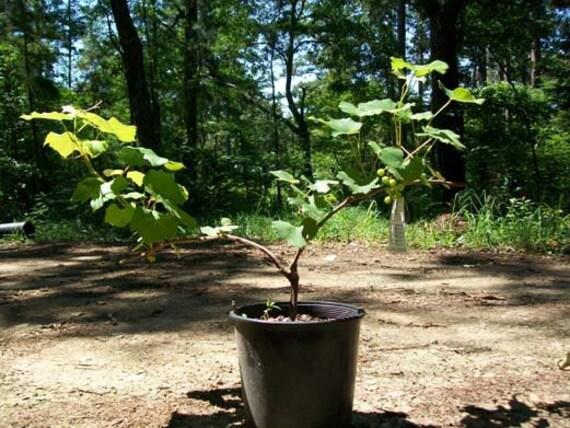 Champanel Grape 2Gal Live Healthy Vine Plants Vines Plant Sweet Grapes Vineyards
