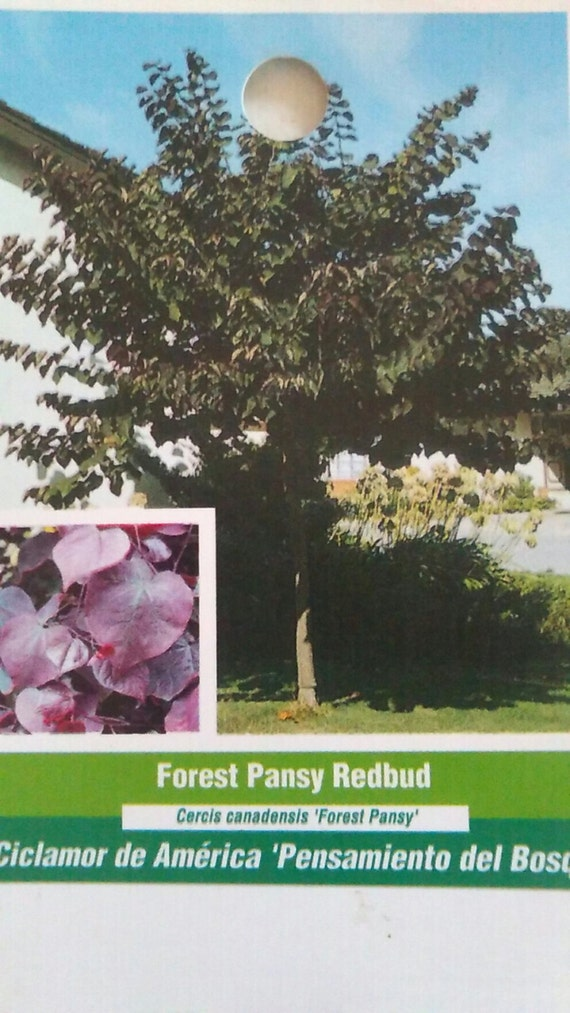 5 Gal Forest Pansy Redbud Flowering Tree Live Healthy Plants Etsy