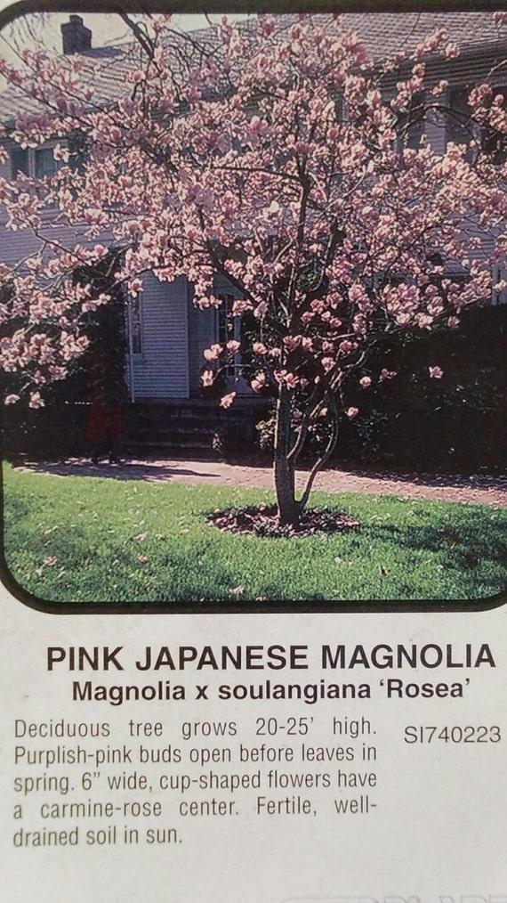 Pink Japanese Magnolia Tree 5 Gallon Flowering New Plants Etsy