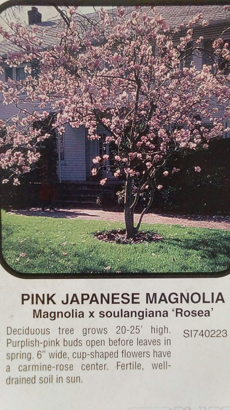 Pink Japanese Magnolia Tree 5 Gallon Flowering New Plants Etsy