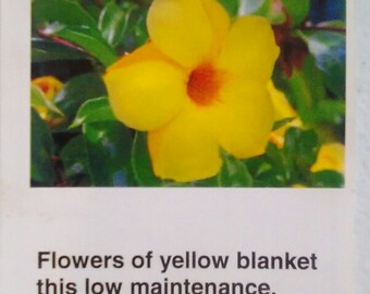 Yellow Oleander Plant Flowers Easy To Grow Home Landscaping Plants Yard Garden
