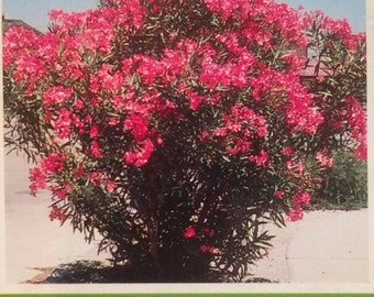 Pink Oleander Plant Flowers Easy To Grow Home Landscaping Plants Yard Garden