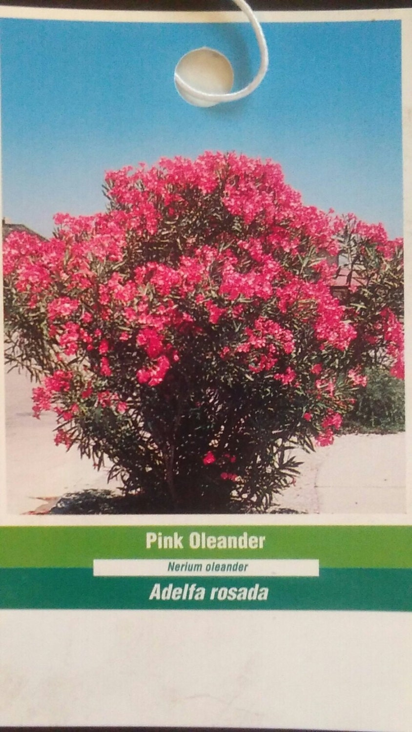 Pink oleander plant flowers easy to grow home landscaping etsy zoom mightylinksfo