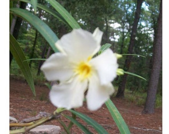 White Oleander Plant Flowers Easy To Grow Home Landscaping Plants Yard Garden