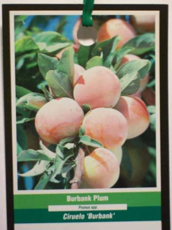 Enviados Árboles Hogar País Crecen Planta 4' Plantas 5' Jardín Sus Todo Fruta Ciruelas El En Ahora Árbol Burbank Dulce Propia Ciruela Huerto ZTPulwXOki