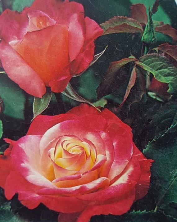 Pascali Creamy White Hybrid Tea Rose 3 Gal Shrub Plants Shrubs Plant Roses NOW!