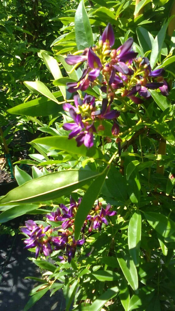 Evergreen wisteria purple flower plants 5 gal tree plant etsy image 0 mightylinksfo