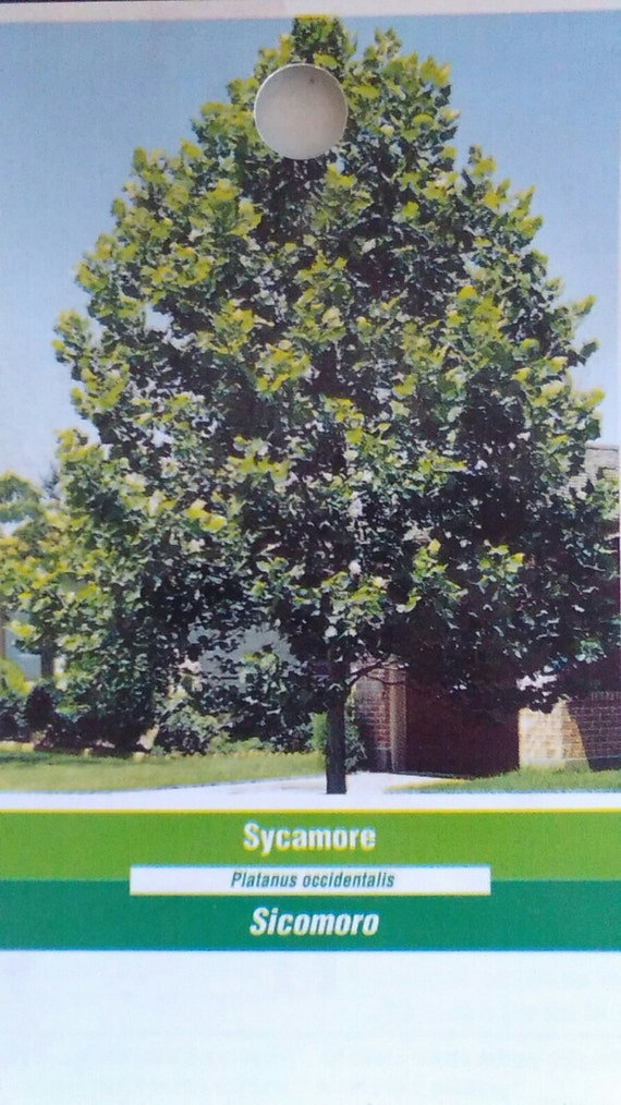 8+in Windbreaks- Ships Now 1 Ohio Buckeye Tree Fast Growing Shade Read Ad