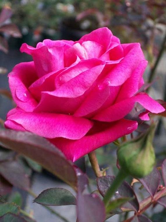 Pink Don Juan Fragrant Climber Rose Shrub 1 Gal Live Plant Etsy