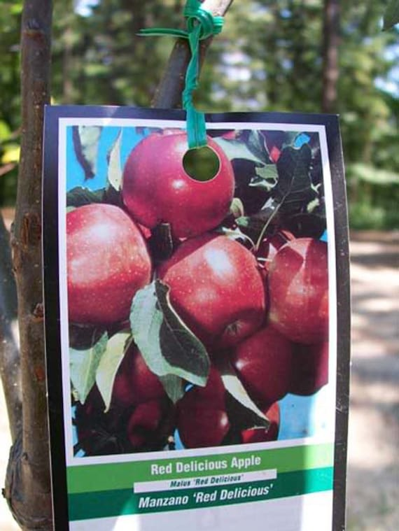 4 5 Red Delicious Apple Fruit Tree Plant Live Trees Etsy