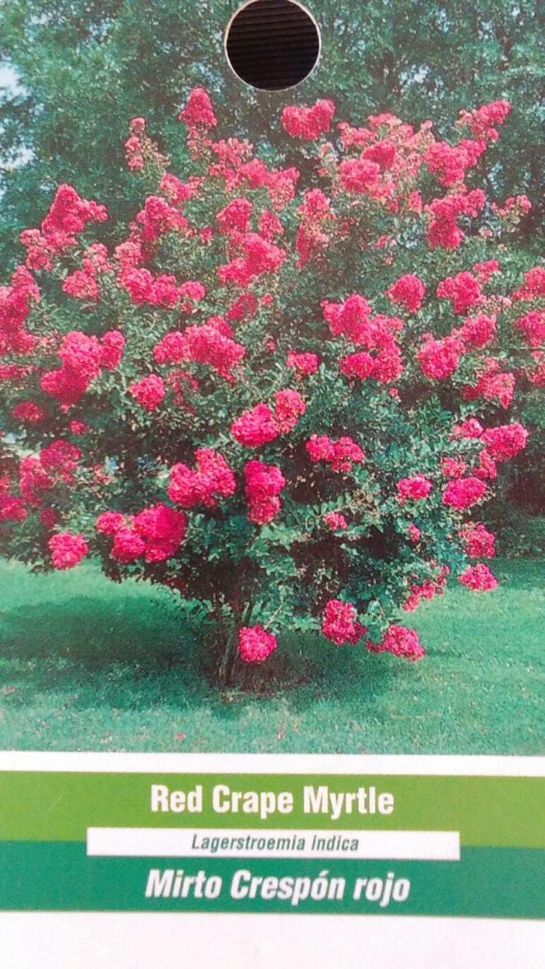 Red Crape Myrtle 5 Gal Tree Flower New Plants Plant Flowers Etsy