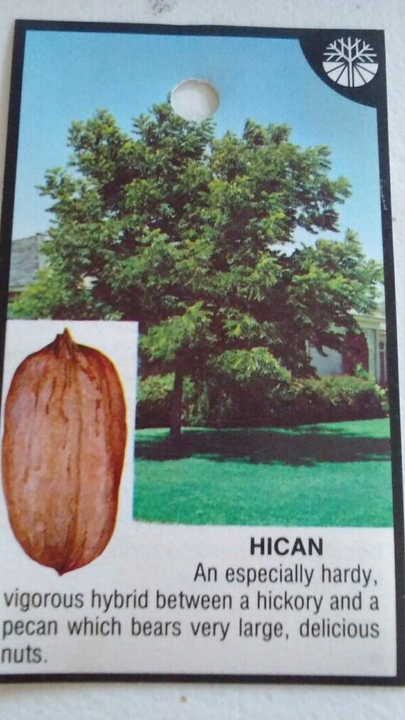 Hican Pecan Tree 7 Gallon Size Healthy Big Nuts Hyrbid