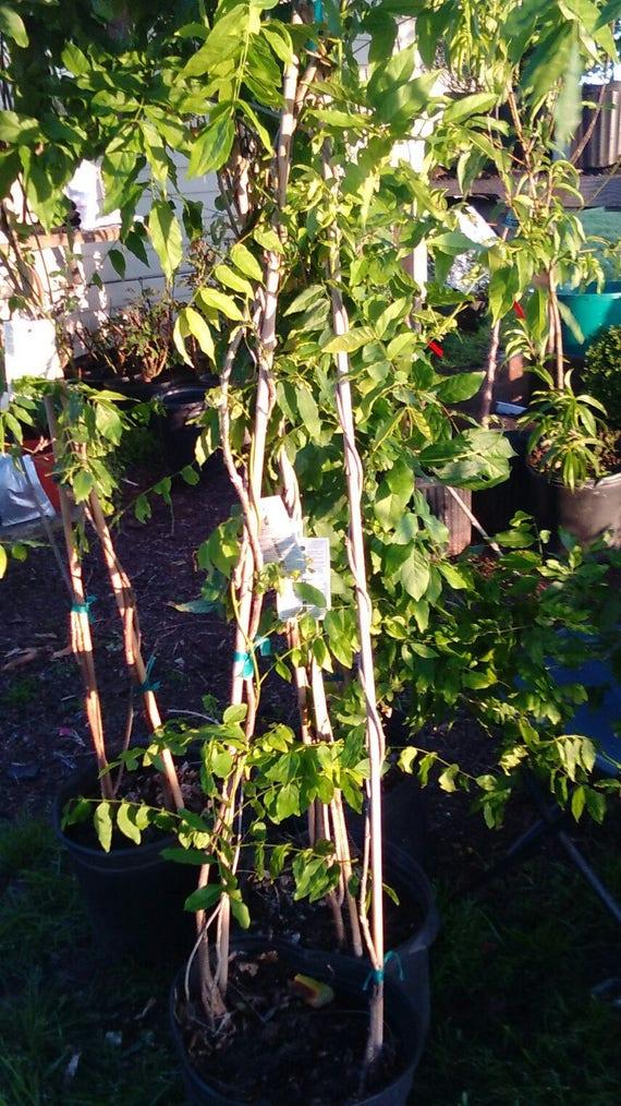 Glycine Mauve Fleur Plantes 5 Gal Live Vigne Paysage Aménagement Paysager Jardin Jardinage Jardins Plante Fleurs Poussent Vos Propres Vignes Arbres