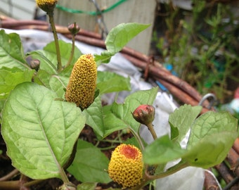 Spilanthes/Seeds/'Toothache Plant'/'Eye Ball Plant'/Acmella oleracea/Maui Seeds/Herb Seeds/Buzz Buttons/Seeds/Herb Garden/Container Suitable