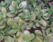 Jade Plant (Crassula ovata) one 6 quot live Plant-organcially grown in Haiku, Maui, Hawaii-Easy to grow house plant