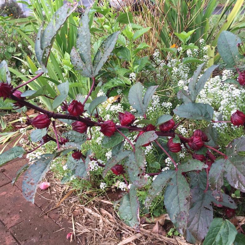Hibiscus Sabdariffaroselle Seeds Herb Seedsred Zinger Etsy