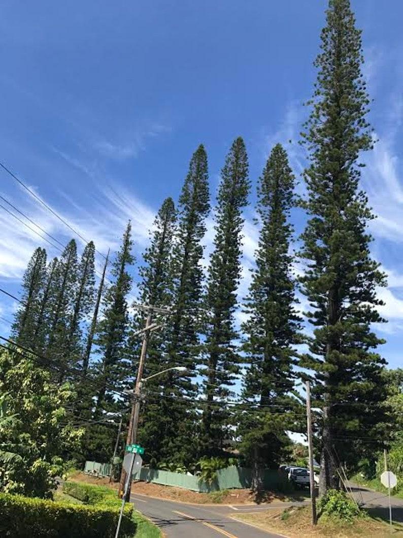 Weihnachtsbaum Samen.Norfolk Insel Kiefer Araucaria Heterphylla Baum Samen Mauiseeds Wachsen Ihre Eigenen Lebenden Weihnachtsbaum Kiefer Baum Samen Hawaii Baum Samen Maui