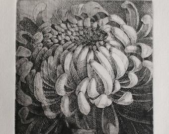 Chysanthemum. Etching